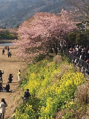 河津桜観光