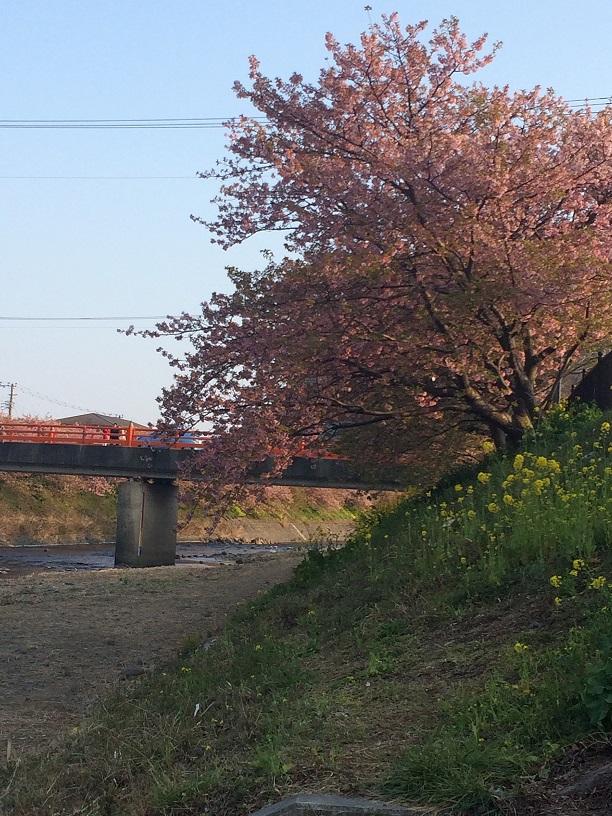 河津桜(河川敷より)
